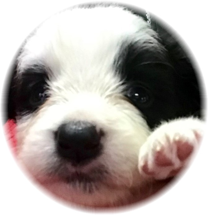 Wilsong Border Collies Show Quality border collie puppies for sale