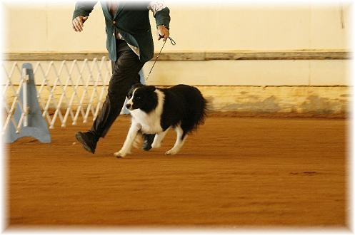Norlee Reece showing Braeyden of Wilsong Border Collies in Pensacola Florida