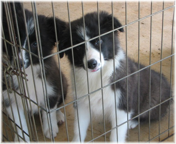 top notch border collie puppies