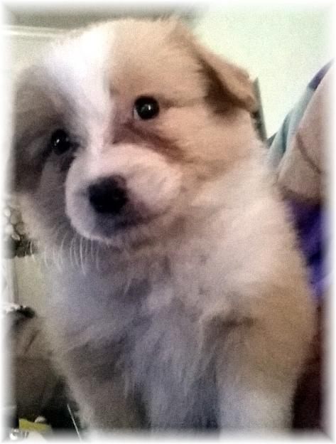 gold & white border collie puppies available