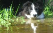 Braeyden in Pond - Wilsong Border Collies