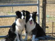 Julee & Shanghai - Wilsong Border Collies