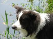Shanghai by the pond - Wilsong Border Collies