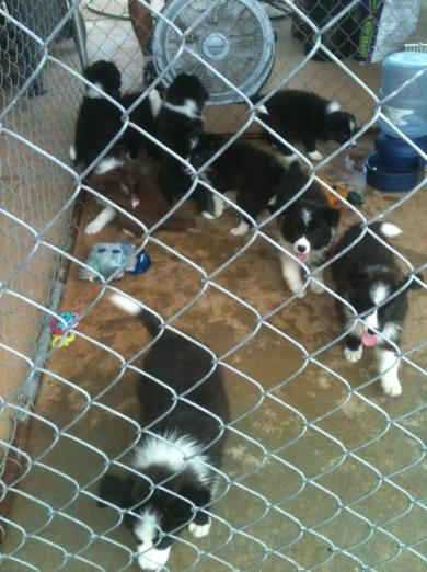 Wilsong Border Collies