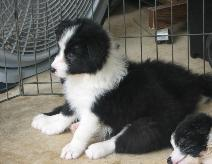 wilsong Border Collie puppy