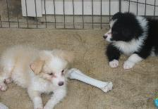 Wilsong Border Collie puppies resting