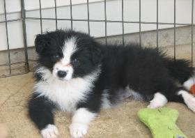 Ally / Jillian Wilsong Border Collie