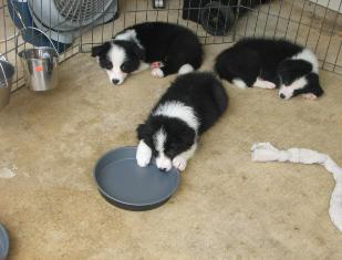 border collie puppies for sale Wilsong Border Collies