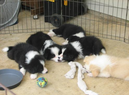 Wilsong Border Collie puppies for sale