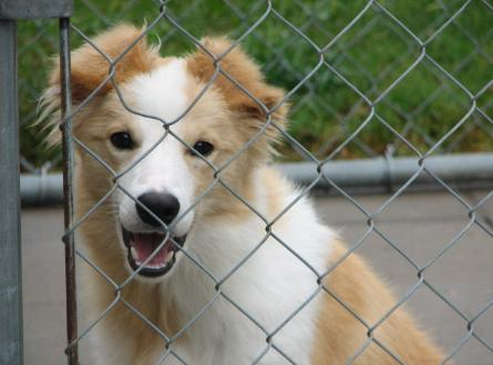 Wilsong Trace beautiful gold border collie