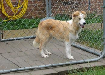 Beautiful young gold border collie at wilsong kennels