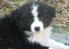 pretty Wilsong Border Collie puppy