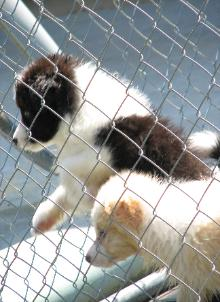 Wilsong Border Collie pups  for show,agility or pet