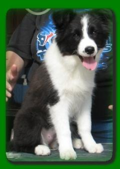 Sweet Isabella -Wilsong Border Collies