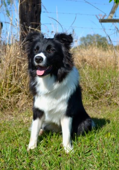 G And H Border Collies border collie puppies ...
