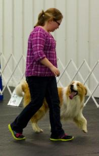 Yankee trianing in rally - gold border collie