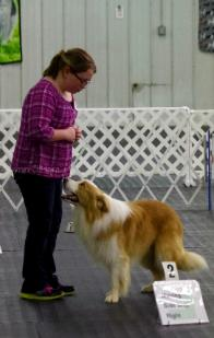 Yankee training in rally - gold border collie