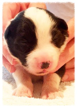 beautiful AKC border collie puppy available