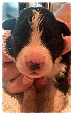 AKC border collie puppies available