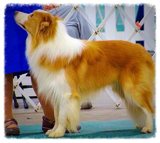 beautiful Wilsong gold border collie