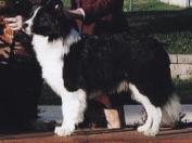 Wilsong Border collies -  Braeyden 10 mos old