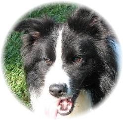 Wilsong Border Collies Braeyden pedigree