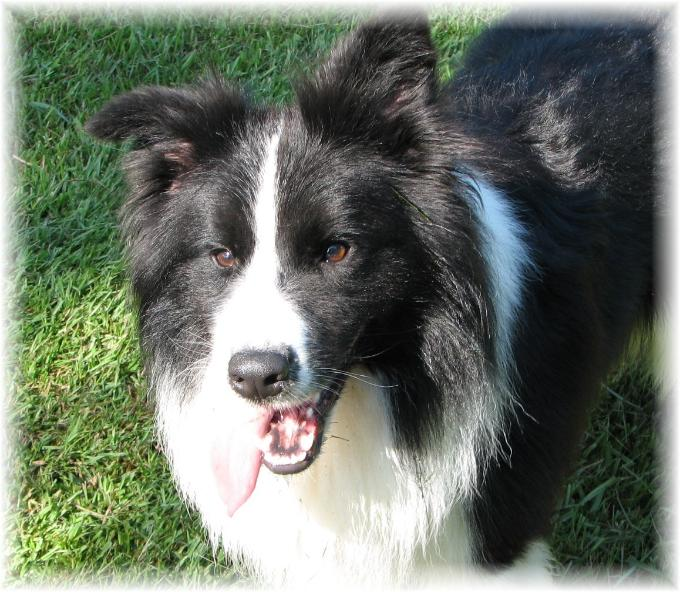Braeyden of Wilsong Border Collies Kennels