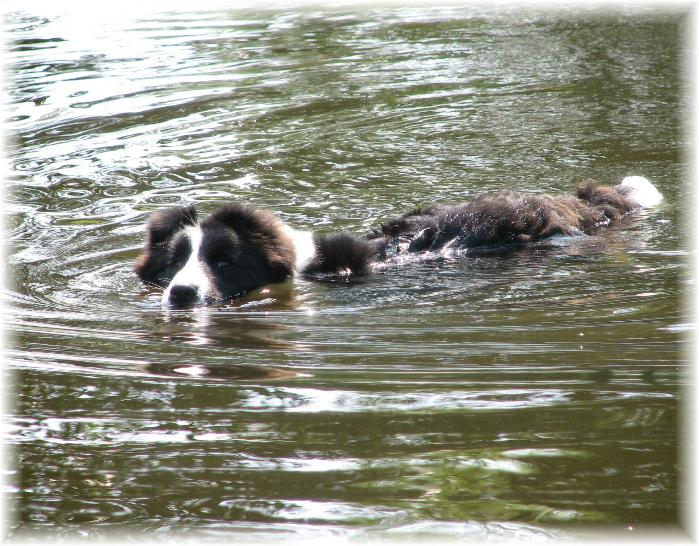 Wilsong Border Collies - Braeyden swimming