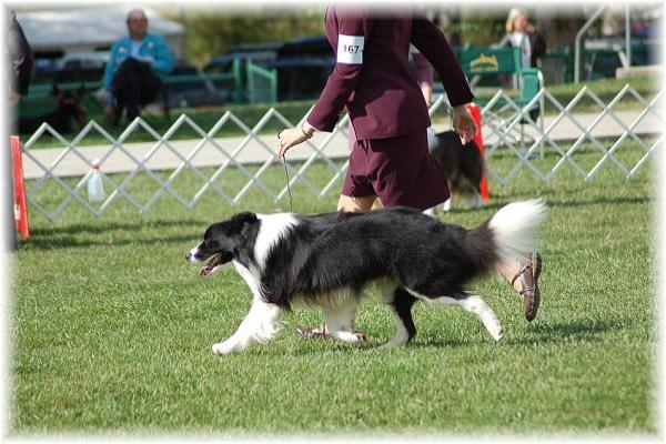 Wilsong Border Collies - Braeyden moving BCSA 2008