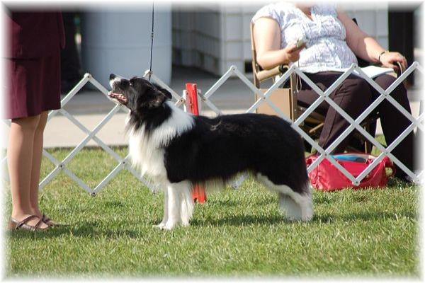 Wilsong Border Collies - Braeyden BCSA 2008