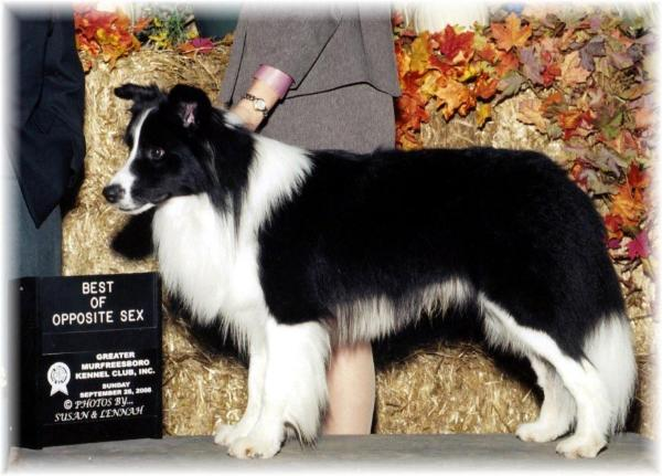 wilsong Border Collies - Beautiful Braeyden
