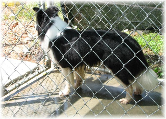 wilsong Border Collies - Braeyden in kennel run
