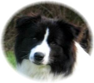 Wilsong Border Collies Show Quality border collie puppies
