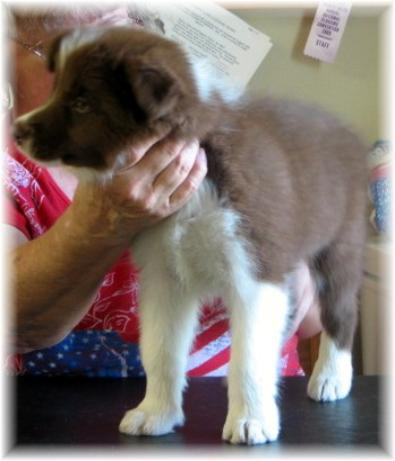 show quality border collie puppies