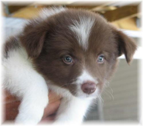 Beautiful wilsong border collie puppy