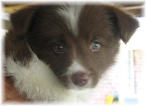 chocolate border collie puppy at wilsong kennels