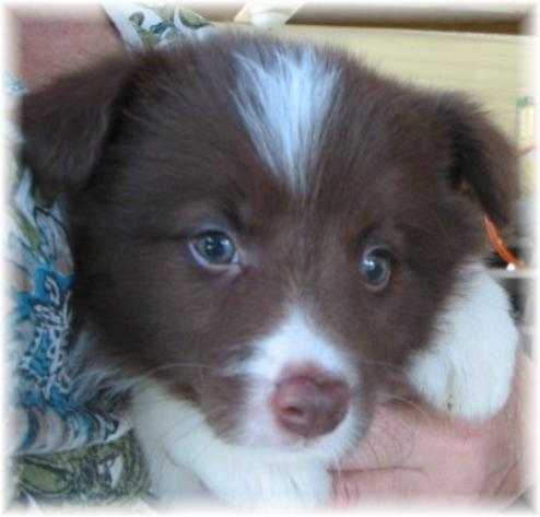 beautiful chocolate border collie puppy