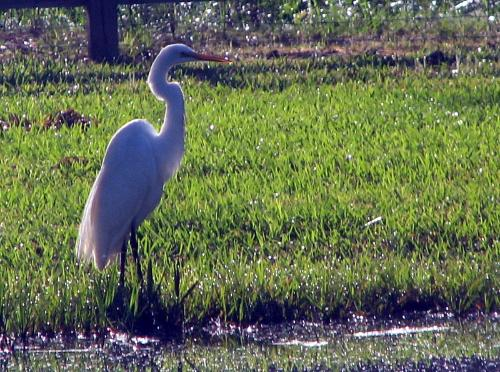 egret on property at Wilsong Border Collies