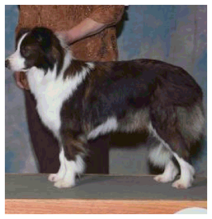 Ch Wilsong Perfect Little Companion (seal & white border collie)
