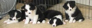 wilsong kennels breeder with border collie puppies for sale