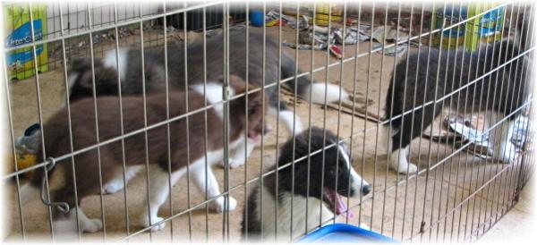 wilsong border collie kennels