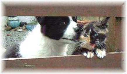 wilsong border collie puppy love cats