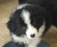 Wilsong Border Collie pup Lo Jack