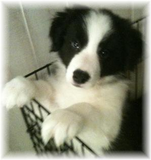 beautiful wilsong border collie pup