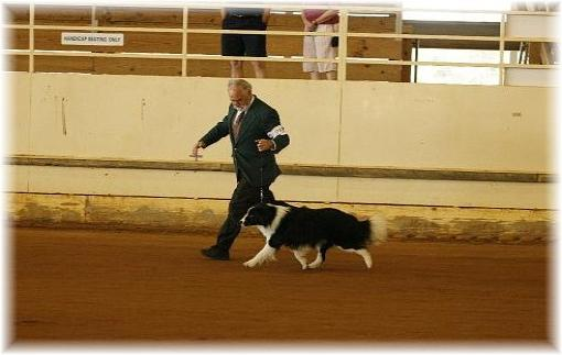 wilsong Border Collies - Braeyden moving in show ring.