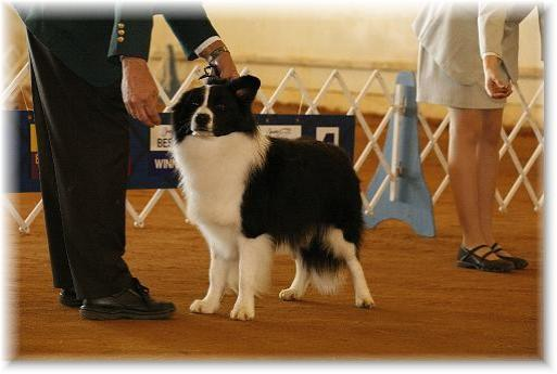 Wilsong Border Collies - Braeyden showing