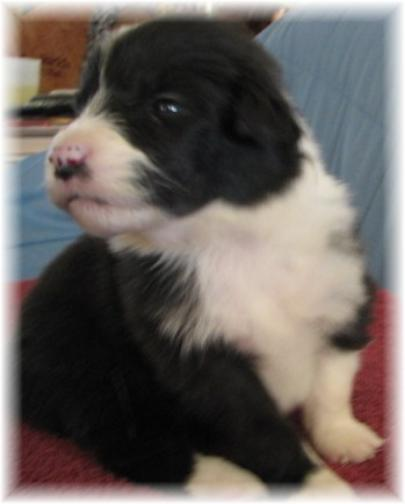 beautiful border collie puppy Rain