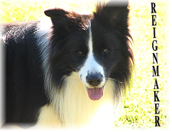 Wilsong Border Collies - The Reignmaker - Braeyden