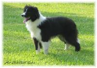 Wilsong Border Collie Rowdy