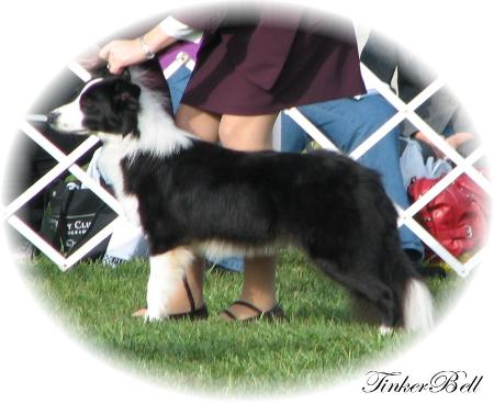 Wilsong Border Collies - Tinker at BCSA Nationals 2008